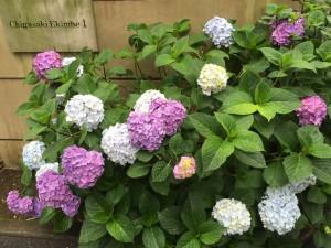 Ajisai (Hydrangeas) In Full Bloom during Japan's Rainy Season
