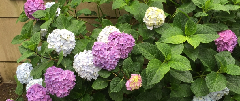 "Seasons Changing – June ""Rainy Season"", Hydrangeas and Umeshu"